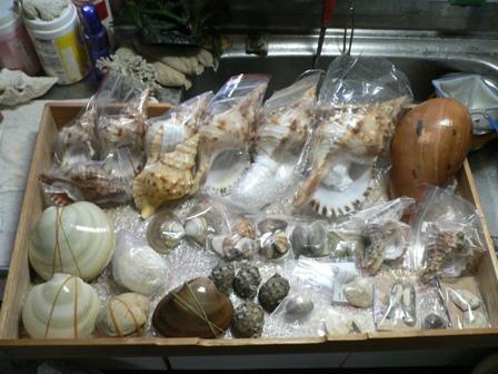 台湾の貝殻1