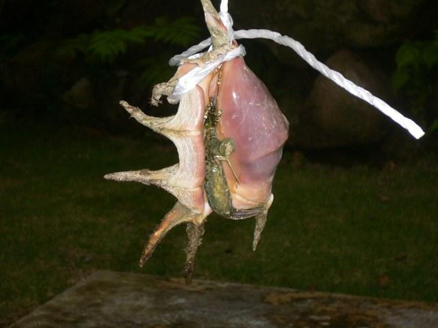 クモガイの身抜き