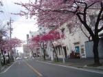 3月7日の大島彼岸サクラが満開