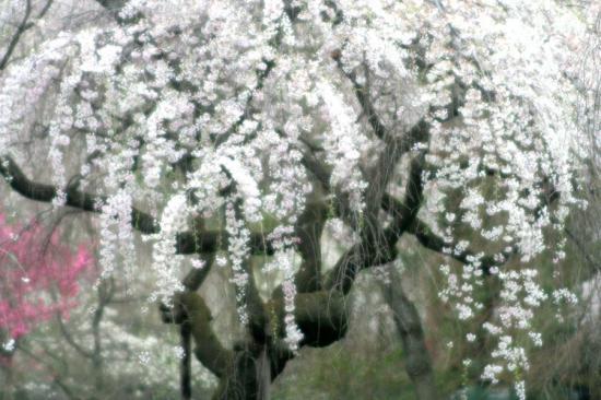 京都御苑桜3