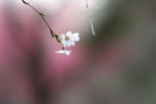 京都御苑桜4