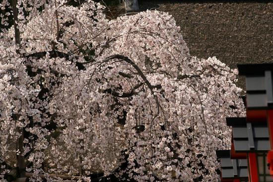 平野神社2