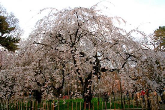 京都御苑桜1