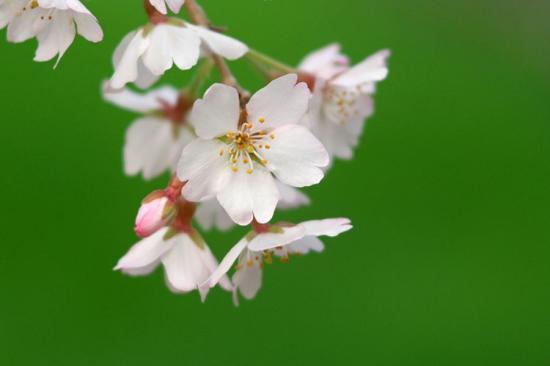 京都御苑桜5